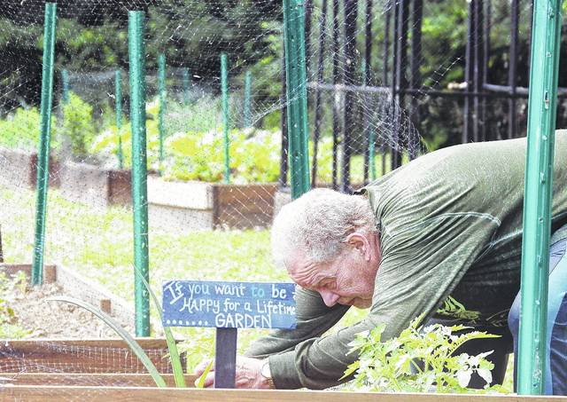 """Richard Wilson, of Sidney, plants some young black oil sunflowers in his raised bed that is part of Agape's People's Garden in Sidney, Thursday, June 16. Wilson also planted an amaryllis. This is Wilson's first year of planting in the People's Garden. He plans to donate 10 percent of his plot's yield to Agape. Wilson said of the garden, """"I'm ecstatic. It's the greatest thing in the world, especially the organic approach."""" In 2016, the People's Garden yielded almost 900 pounds of produce. The people who gardened there donated another 3,100 pounds to Agape Distribution from their home plots."""