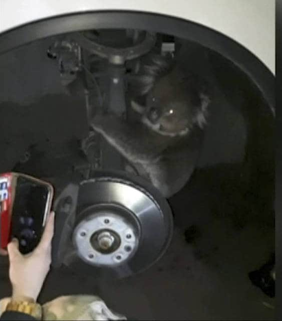 This Sept. 9, 2017 image taken from a video, shows a koala in the wheel arch, in Adelaide, Australia. The koala survived a 16-kilometer (10-mile) trip in wheel arch. (Metropolitan Fire Service via AP)