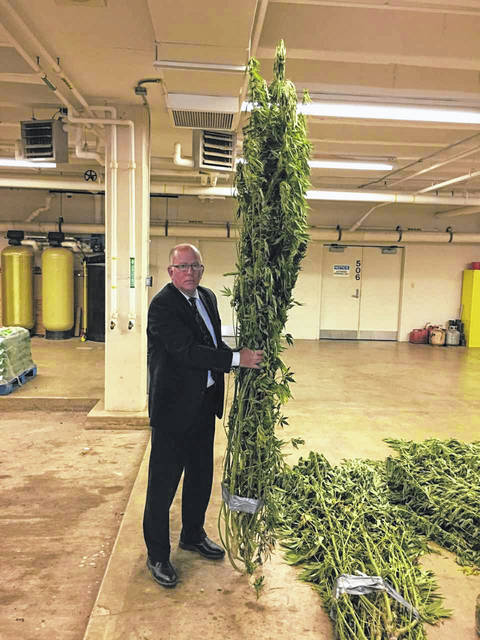 Shelby County Chief Deputy Sheriff James Frye holds marijuana plants, which tower over him, that were seized during the Aug. 8 bust.